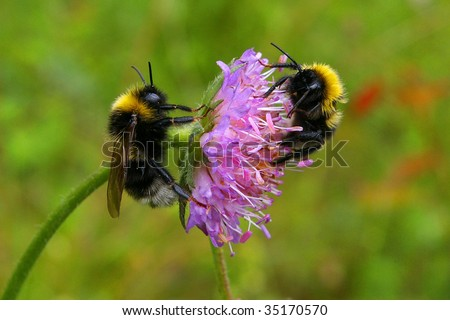 two honeybees on field scabious blossom