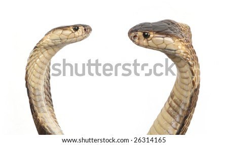 two hooded cobras in strike position - stock photo
