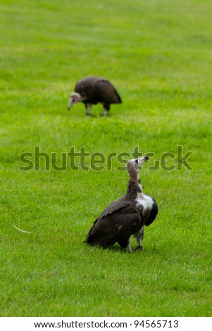 Two hooded vultures on the grass - stock photo