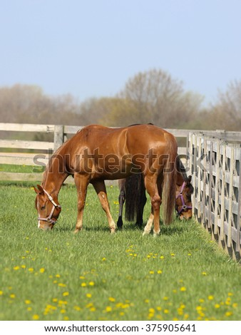 Two horse grazing on the grass in the pasture - stock photo
