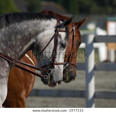 Two horses at showjumping competition - stock photo