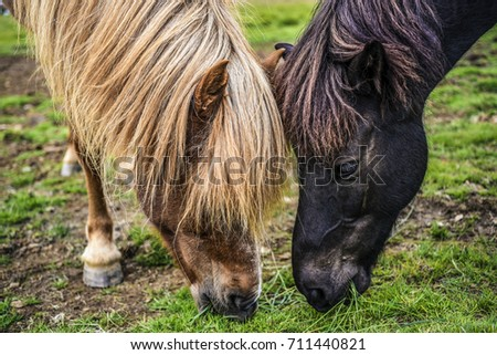 Two horses eating grass on a meadow in Iceland.