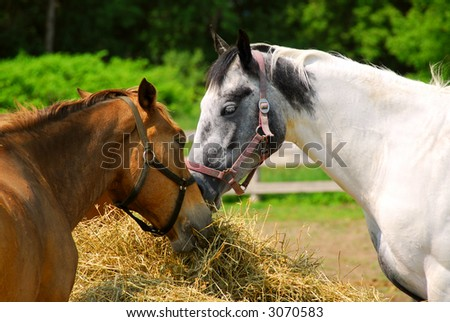 Two horses feeding at the ranch on bright summer day, closeup - stock photo