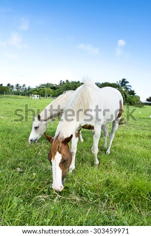 Two horses feeding on grass in a large, green field during a bright day. - stock photo