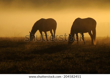 Two horses graze on a field on a background of fog and sunrise