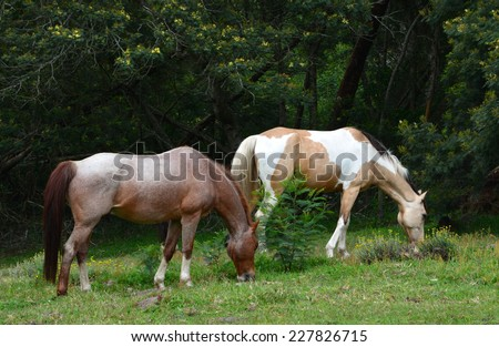 Two horses grazing on green pasture in front of trees of the forest. - stock photo