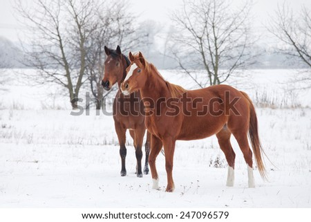 Two horses in winter landscape - stock photo