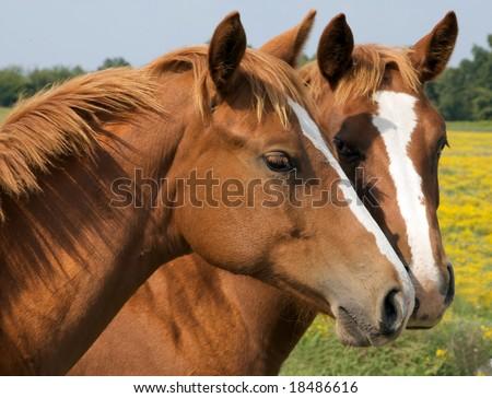 Two Horses kissing - stock photo