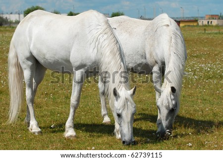 two horses on the meadow grazing - stock photo