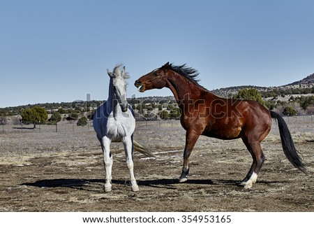 Two horses, one gray and one bay colored with front hooves off the ground and attacking with mouth with teeth showing - stock photo