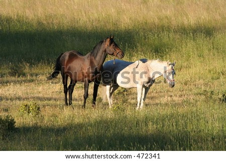 Two horses relaxing together in the early morning sun near Ward, CO. - stock photo