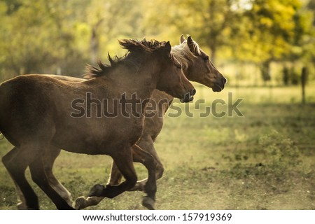 Two horses running close to each other  - stock photo