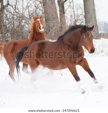 Two horses running in winter landscape - stock photo