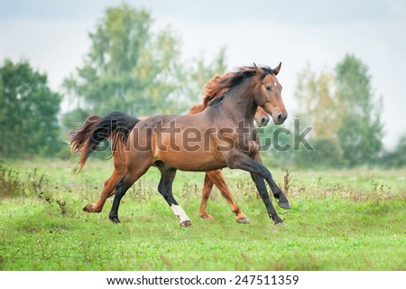 Two horses running on the pasture in summer - stock photo
