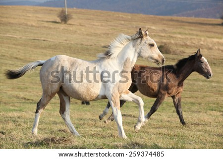 Two horses running together in freedom on meadow - stock photo