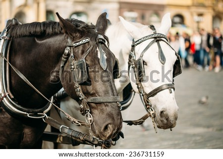 Two Horses - White And Black - Are Harnessed To A Cart For Driving Tourists In Prague Old Town Square - stock photo