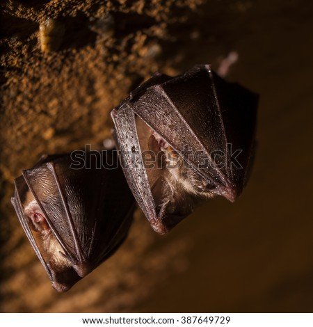 Two horseshoe bat covered by wings, hanging on the top of the cave while hibernating. Wildlife photography. - stock photo