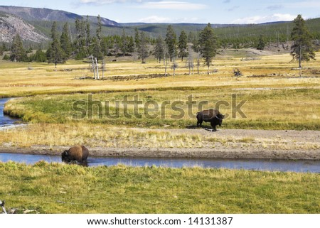 Two huge bisons are grazed about a watering place in Yellowstone national park - stock photo
