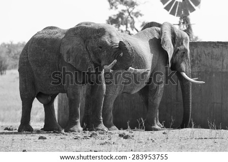 Two huge elephant bulls stand close to a reservoir artistic conversion - stock photo