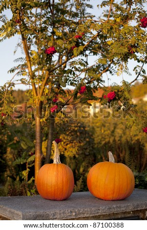 two huge pumpkins in an evening light