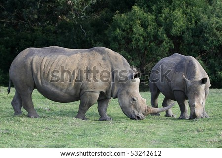 Two huge white rhinos grazing on green grass