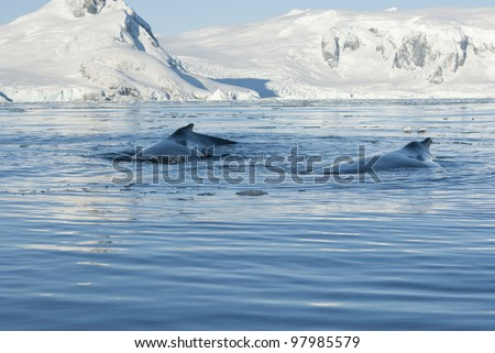 Two humpback whale floating on the background of the Antarctic Peninsula. - stock photo