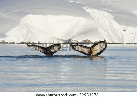 Two Humpback Whales tails with ice backgrownd - stock photo