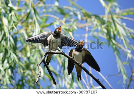 Two hungry swallows - stock photo