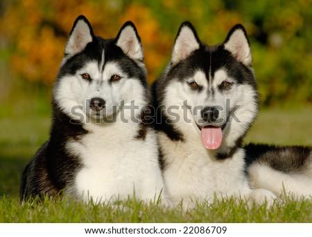two husky dogs - stock photo