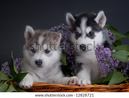 Two husky puppies with lillac - stock photo