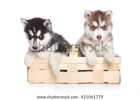 Two husky puppy dogs with blue eyes in a box (isolated on white) - stock photo