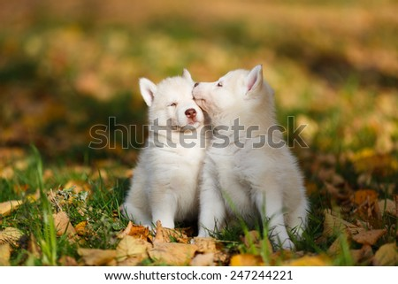 Two husky puppy on the leaves in autumn - stock photo