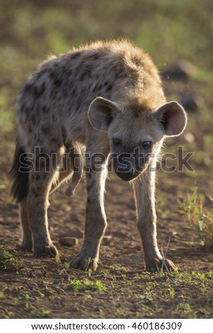 Two hyena lying down looking and observing the  young - stock photo