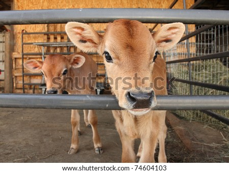 two identical calves standing together in barn pen - stock photo