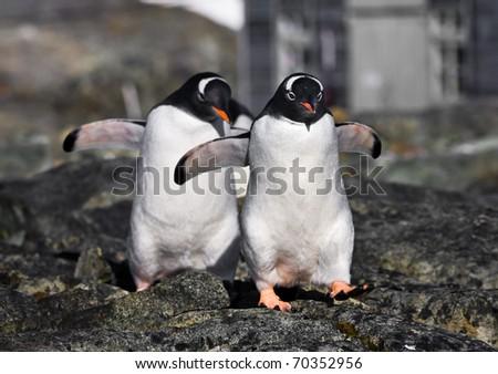 Two identical penguins in Antarctica - stock photo