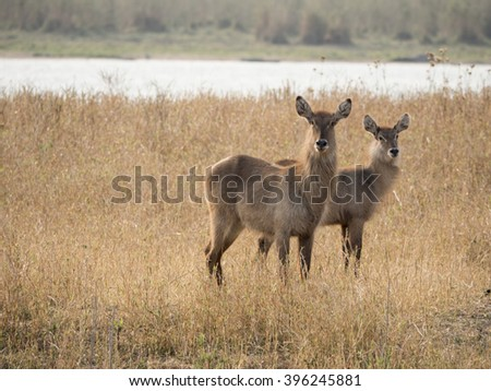 two Impala in the African savannah  - stock photo