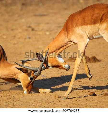 Two impala males fighting on sand with horns locked