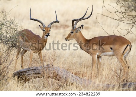 two impala rams during rutting - stock photo