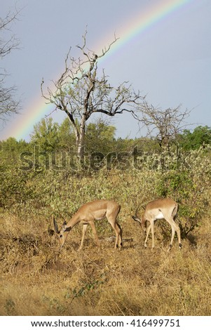Two impalas grazing with a rainbow in the background. Kruger National Park. South Africa. - stock photo