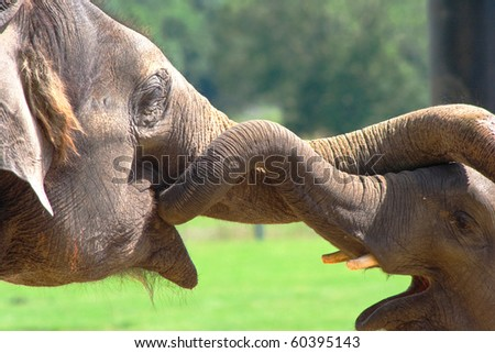Two Indian Elephant playing with theirs trunks entwined