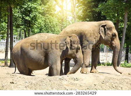 Two indian elephants in zoo, at sunset.  - stock photo