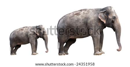Two indian elephants - isolated - stock photo