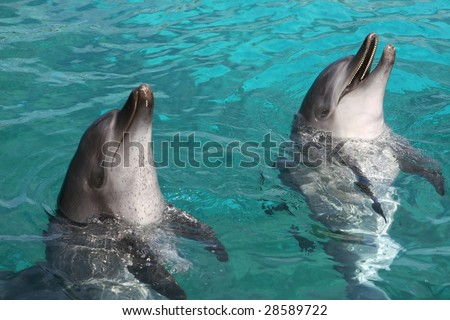 Two Indian Ocean bottlenose dolphins in blue water - stock photo