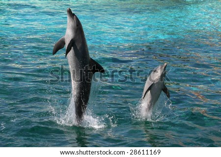 Two Indian Ocean bottlenose dolphins leaping out of the water - stock photo