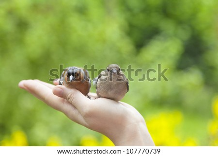 two injured birds on humans hand in the garden. - stock photo