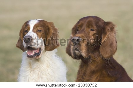 Two Irish setter (a red & white and a red) males