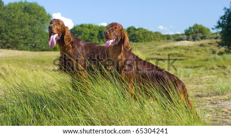 Two Irish Setters on hill - stock photo