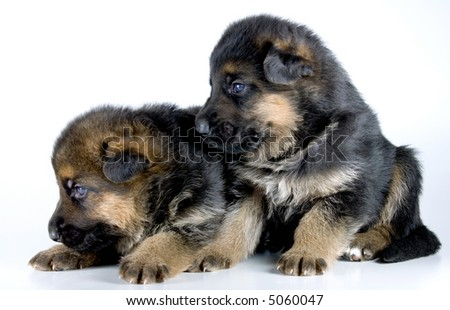 two  isolated laying sheep-dog puppies