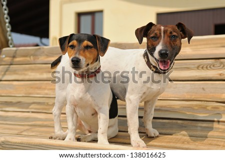 Two jack russel terriers  on a bench - stock photo