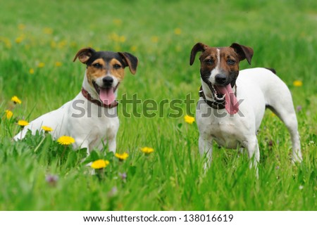 Two jack russel terriers sitting in green grass - stock photo